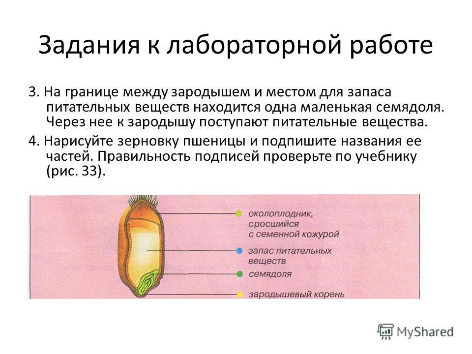 Задания к лабораторной работе 3. На границе между зародышем и местом для запаса питательных веществ находится одна маленькая семядоля. Через нее к зародышу поступают питательные вещества. 4. Нарисуйте зерновку пшеницы и подпишите названия ее частей.
