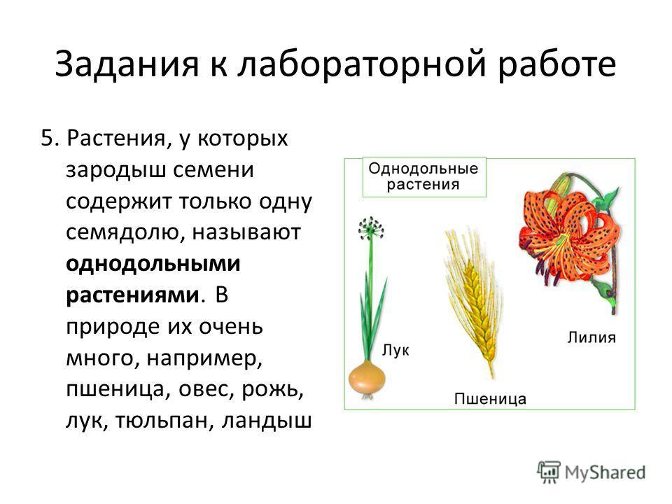 Задания к лабораторной работе 5. Растения, у которых зародыш семени содержит только одну семядолю, называют однодольными растениями. В природе их очень много, например, пшеница, овес, рожь, лук, тюльпан, ландыш