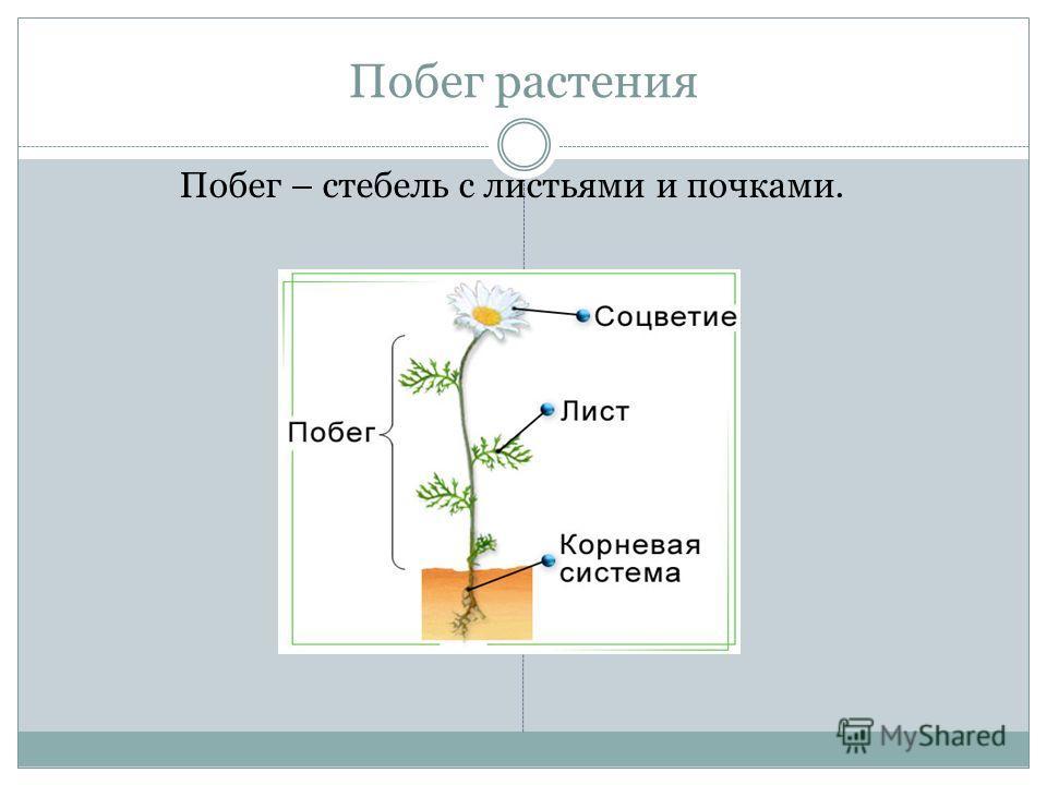 Побег растения Побег – стебель с листьями и почками.