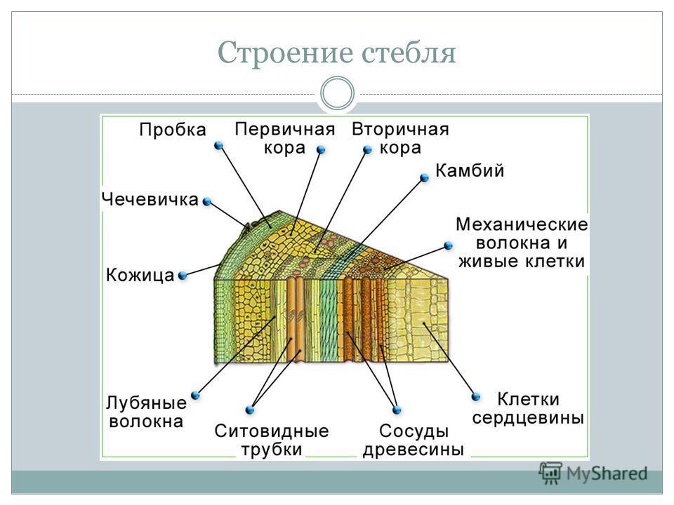 Строение стебля доклад