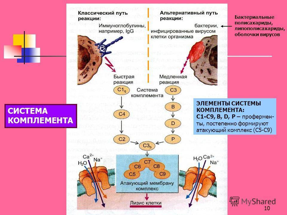 10 Бактериальные полисахариды, липополисахариды, оболочки вирусов ЭЛЕМЕНТЫ СИСТЕМЫ КОМПЛЕМЕНТА: C1-C9, B, D, P – профермен- ты, постепенно формируют атакующий комплекс (С5-С9) СИСТЕМА КОМПЛЕМЕНТА