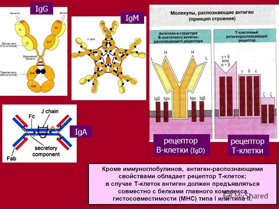 15 IgG IgМ Кроме иммуноглобулинов, антиген-распознающими свойствами обладает рецептор Т-клеток; в случае Т-клеток антиген должен предъявляться совместно с белками главного комплекса гистосовместимости (МНС) типа I или типа II. рецептор Т-клетки рецеп