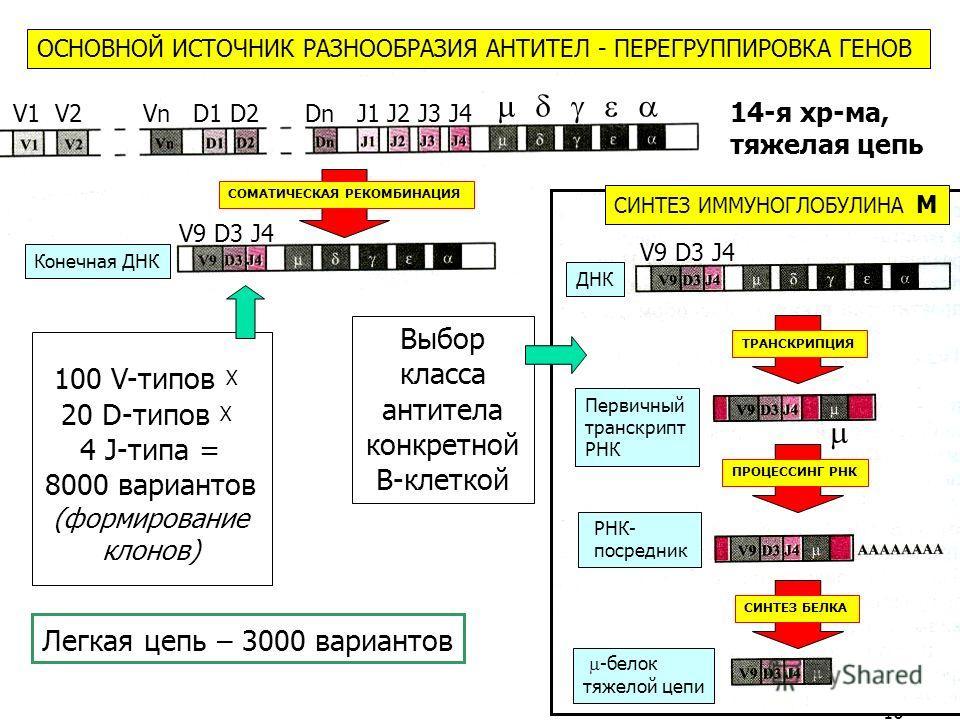 16 14-я хр-ма, тяжелая цепь 100 V-типов Х 20 D-типов Х 4 J-типа = 8000 вариантов (формирование клонов) Выбор класса антитела конкретной В-клеткой Легкая цепь – 3000 вариантов V1 V2 Vn D1 D2 Dn J1 J2 J3 J4 V9 D3 J4 ОСНОВНОЙ ИСТОЧНИК РАЗНООБРАЗИЯ АНТИТ