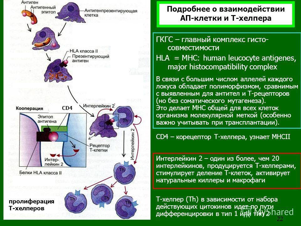 22 пролиферация T-хелперов CD4 ГКГС – главный комплекс гисто- совместимости HLA = MHC: human leucocyte antigenes, major histocompatibility complex В связи с большим числом аллелей каждого локуса обладает полиморфизмом, сравнимым с выявленным для анти