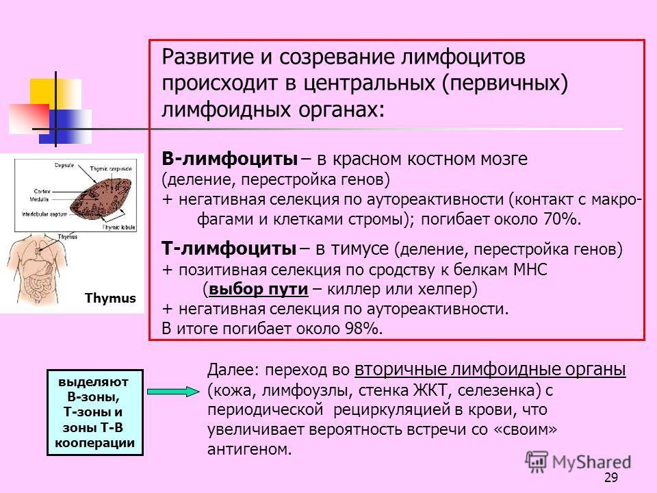 29 Развитие и созревание лимфоцитов происходит в центральных (первичных) лимфоидных органах: В-лимфоциты – в красном костном мозге (деление, перестройка генов) + негативная селекция по аутореактивности (контакт с макро- фагами и клетками стромы); пог