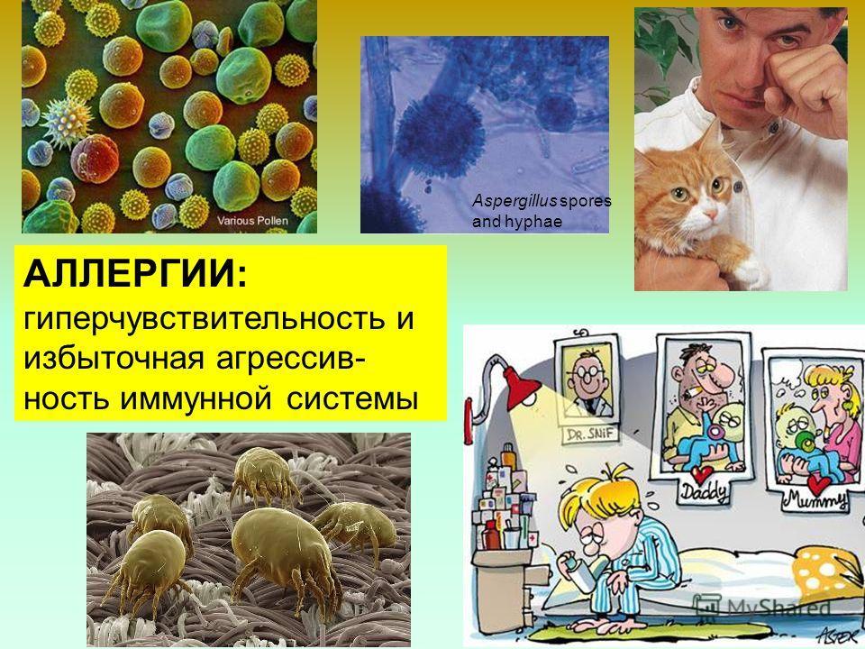 38 Aspergillus spores and hyphae АЛЛЕРГИИ: гиперчувствительность и избыточная агрессив- ность иммунной системы