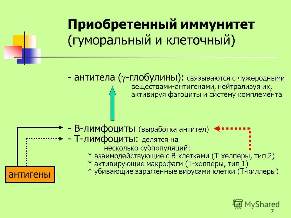 7 Приобретенный иммунитет (гуморальный и клеточный) - антитела ( -глобулины): связываются с чужеродными веществами-антигенами, нейтрализуя их, активируя фагоциты и систему комплемента - В-лимфоциты (выработка антител) - Т-лимфоциты: делятся на нескол