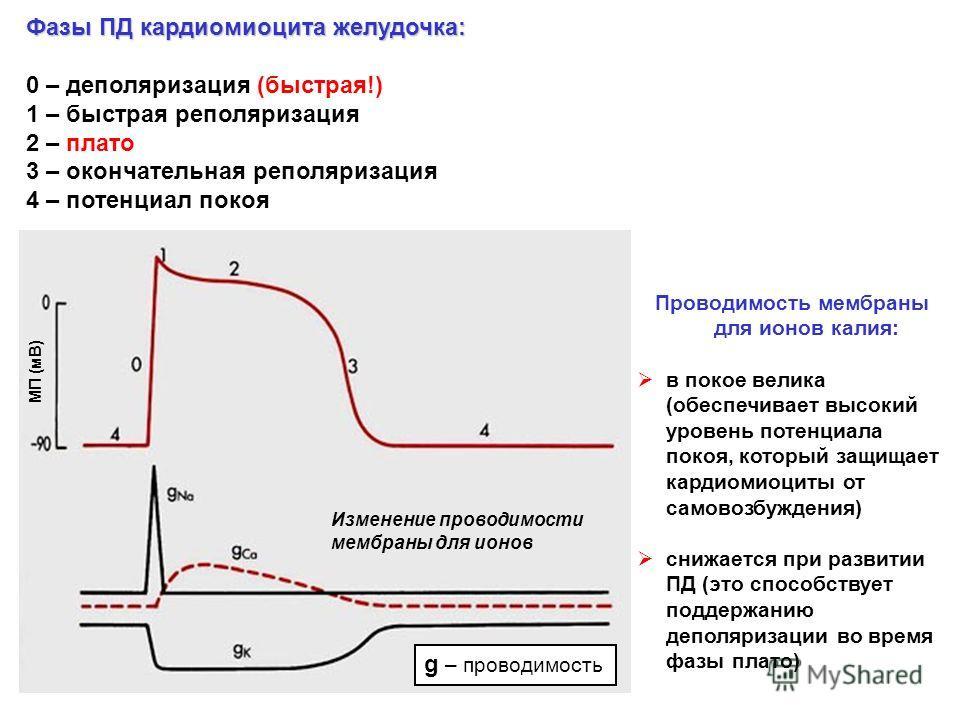 Фазы ПД кардиомиоцита желудочка: 0 – деполяризация (быстрая!) 1 – быстрая реполяризация 2 – плато 3 – окончательная реполяризация 4 – потенциал покоя g – проводимость Проводимость мембраны для ионов калия: в покое велика (обеспечивает высокий уровень