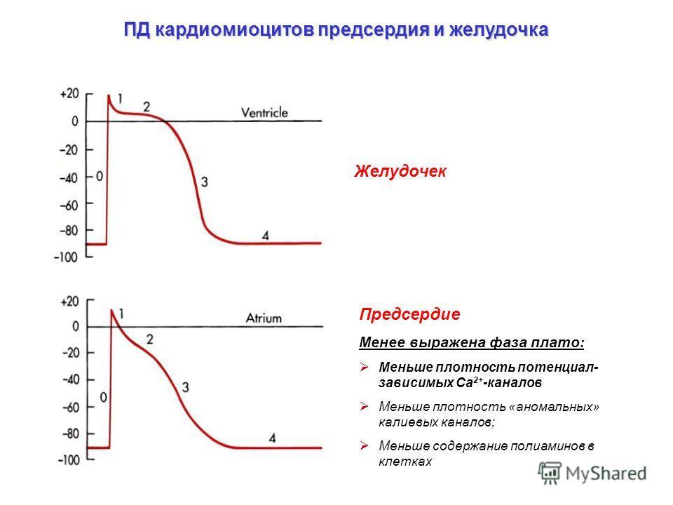 ПД кардиомиоцитов предсердия и желудочка Желудочек Предсердие Менее выражена фаза плато : Меньше плотность потенциал- зависимых Са 2+ -каналов Меньше плотность «аномальных» калиевых каналов; Меньше содержание полиаминов в клетках