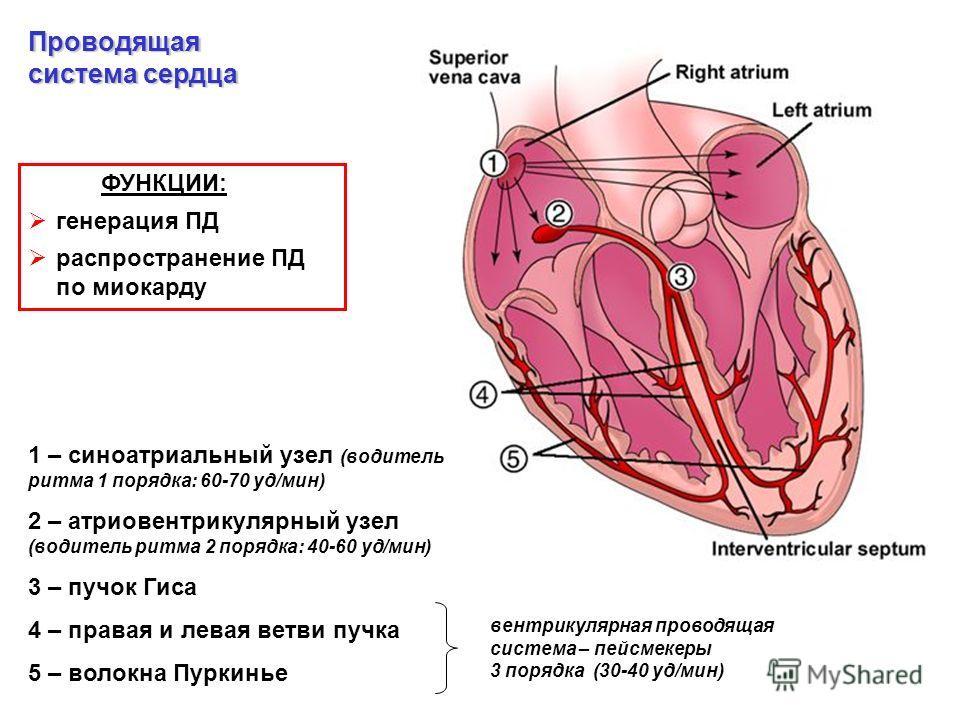 1 – синоатриальный узел (водитель ритма 1 порядка: 60-70 уд/мин) 2 – атриовентрикулярный узел (водитель ритма 2 порядка: 40-60 уд/мин) 3 – пучок Гиса 4 – правая и левая ветви пучка 5 – волокна Пуркинье ФУНКЦИИ: генерация ПД распространение ПД по миок