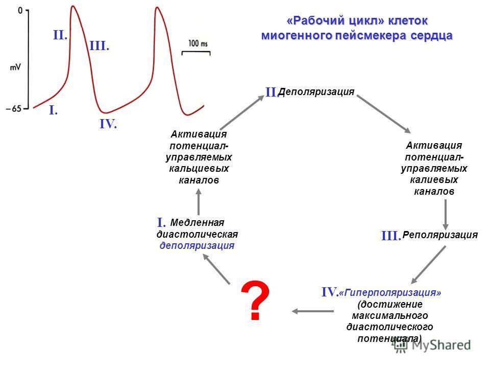 «Рабочий цикл» клеток миогенного пейсмекера сердца Активация потенциал- управляемых кальциевых каналов Активация потенциал- управляемых калиевых каналов Деполяризация «Гиперполяризация» (достижение максимального диастолического потенциала) Реполяриза