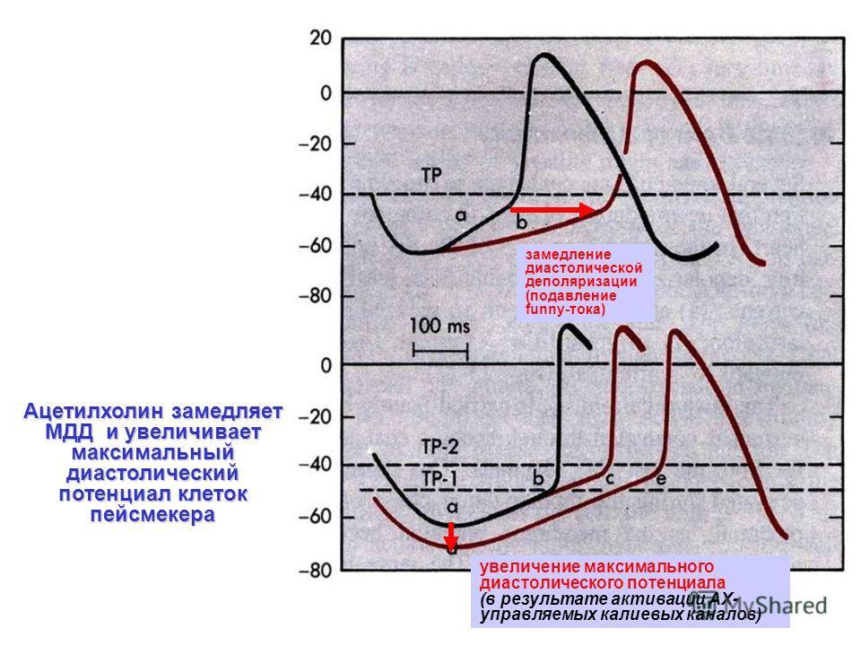Ацетилхолин замедляет МДД и увеличивает максимальный диастолический потенциал клеток пейсмекера увеличение максимального диастолического потенциала (в результате активации АХ- управляемых калиевых каналов) замедление диастолической деполяризации (под