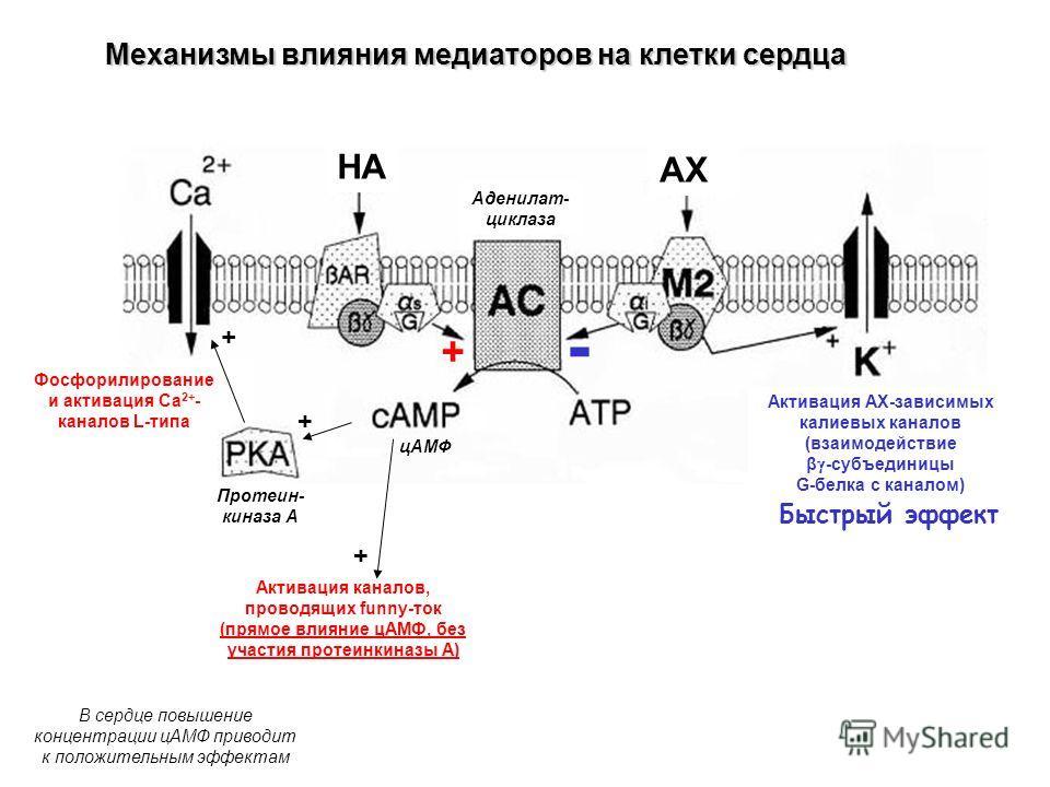 Механизмы влияния медиаторов на клетки сердца Активация АХ-зависимых калиевых каналов (взаимодействие β -субъединицы G-белка с каналом) Аденилат- циклаза цАМФ Протеин- киназа А Активация каналов, проводящих funny-ток (прямое влияние цАМФ, без участия