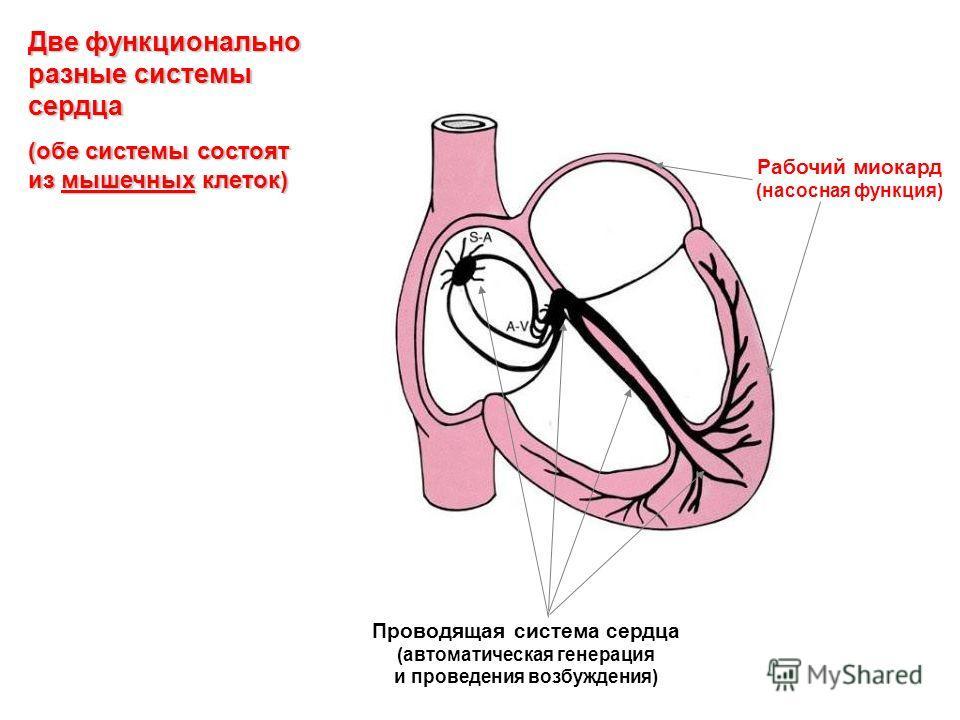 Две функционально разные системы сердца (обе системы состоят из мышечных клеток) Проводящая система сердца (автоматическая генерация и проведения возбуждения) Рабочий миокард (насосная функция)