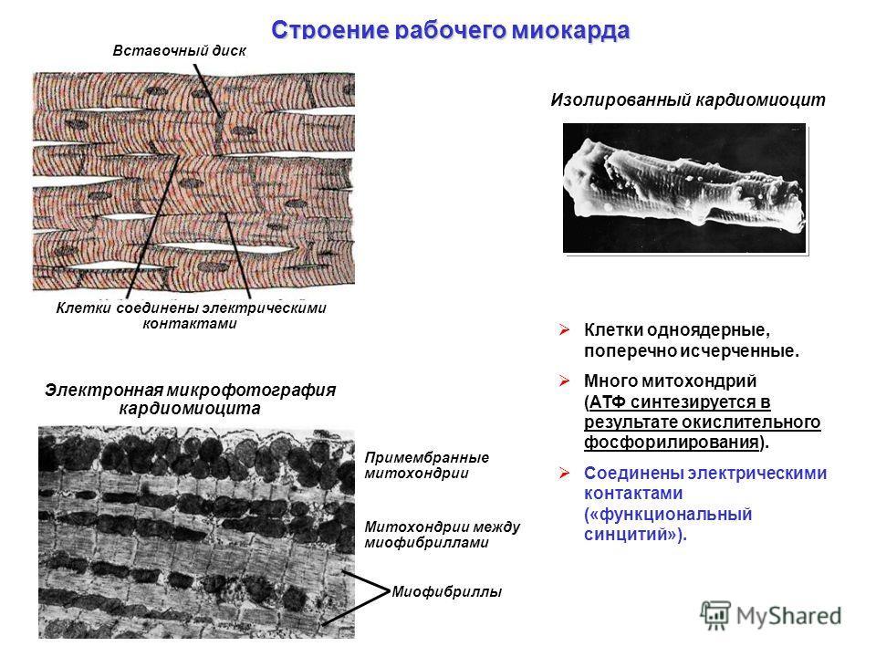 Клетки одноядерные, поперечно исчерченные. Много митохондрий (АТФ синтезируется в результате окислительного фосфорилирования). Соединены электрическими контактами («функциональный синцитий»). Строение рабочего миокарда Изолированный кардиомиоцит Вста