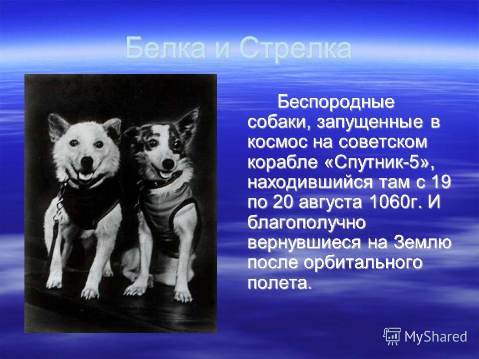 Белка и Стрелка Беспородные собаки, запущенные в космос на советском корабле «Спутник-5», находившийся там с 19 по 20 августа 1060г. И благополучно вернувшиеся на Землю после орбитального полета.