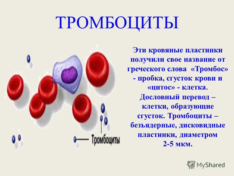 ТРОМБОЦИТЫ Эти кровяные пластинки получили свое название от греческого слова «Тромбос» - пробка, сгусток крови и «цитос» - клетка. Дословный перевод – клетки, образующие сгусток. Тромбоциты – безъядерные, дисковидные пластинки, диаметром 2-5 мкм.