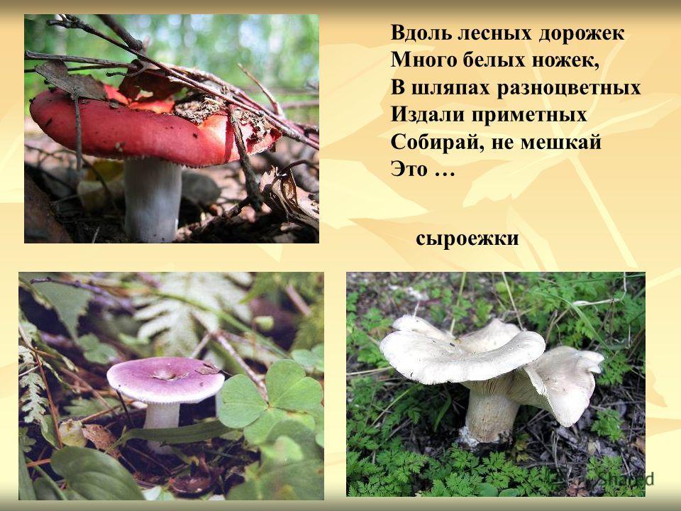 Вдоль лесных дорожек Много белых ножек, В шляпах разноцветных Издали приметных Собирай, не мешкай Это … сыроежки