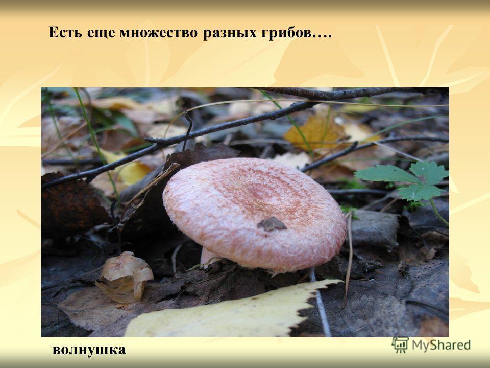 волнушка Есть еще множество разных грибов….