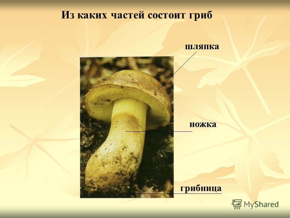 шляпка ножка грибница Из каких частей состоит гриб
