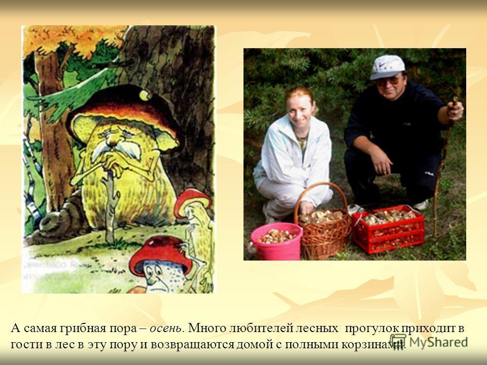 А самая грибная пора – осень. Много любителей лесных прогулок приходит в гости в лес в эту пору и возвращаются домой с полными корзинами.