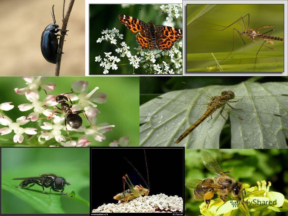 Ползёт в траве жук, Вьются над цветами пчёлы и бабочки, Стрекочут кузнечики, Шуршат крыльями стрекозы… Живут насекомые – наши маленькие, незаметные соседи.