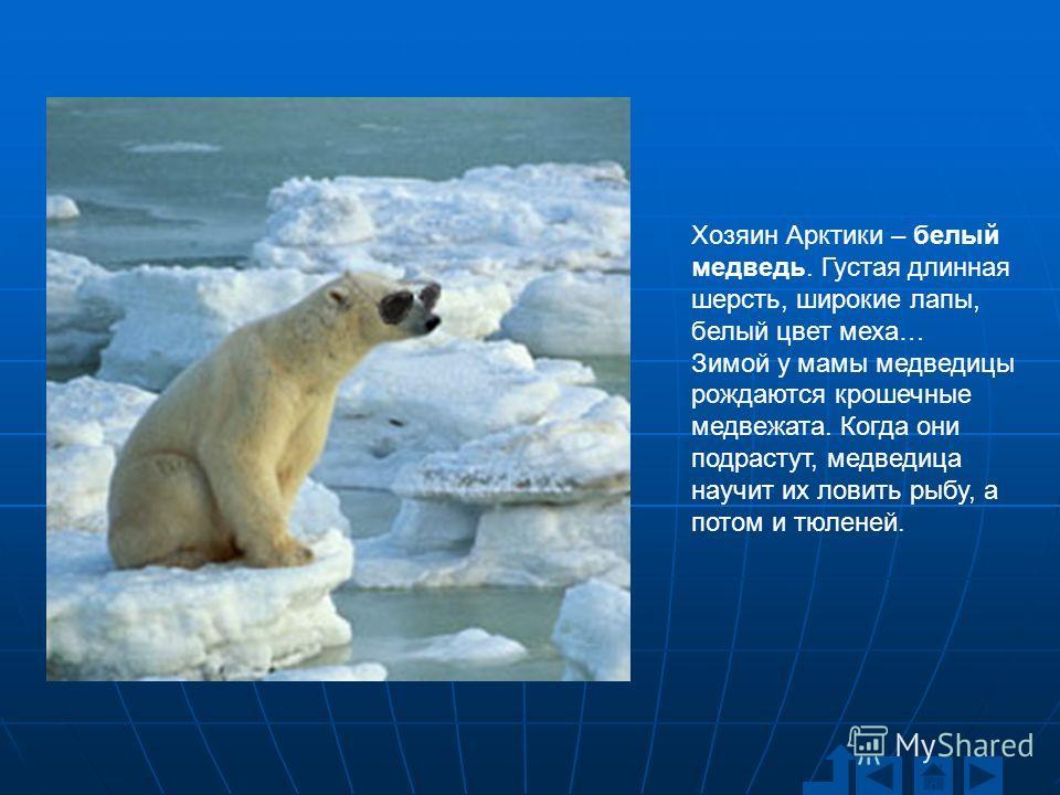 Хозяин Арктики – белый медведь. Густая длинная шерсть, широкие лапы, белый цвет меха… Зимой у мамы медведицы рождаются крошечные медвежата. Когда они подрастут, медведица научит их ловить рыбу, а потом и тюленей.