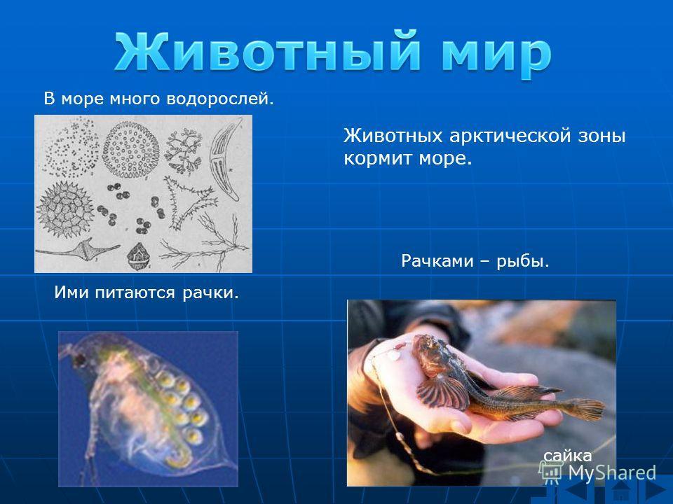 Животных арктической зоны кормит море. В море много водорослей. Ими питаются рачки. Рачками – рыбы. сайка