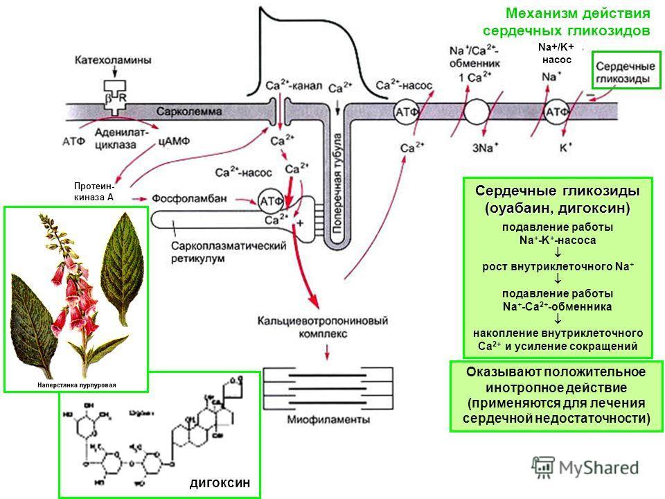 Механизм действия сердечных гликозидов Протеин- киназа А Сердечные гликозиды (оуабаин, дигоксин) подавление работы Na + -K + -насоса рост внутриклеточного Na + подавление работы Na + -Ca 2+ -обменника накопление внутриклеточного Са 2+ и усиление сокр