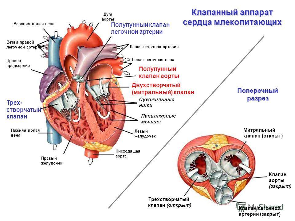 Клапанный аппарат сердца млекопитающих Дуга аорты Нисходящая аорта Левый желудочек Папиллярные мышцы Сухожильные нити Левая легочная вена Левая легочная артерия Полулунный клапан легочной артерии Верхняя полая вена Нижняя полая вена Правый желудочек