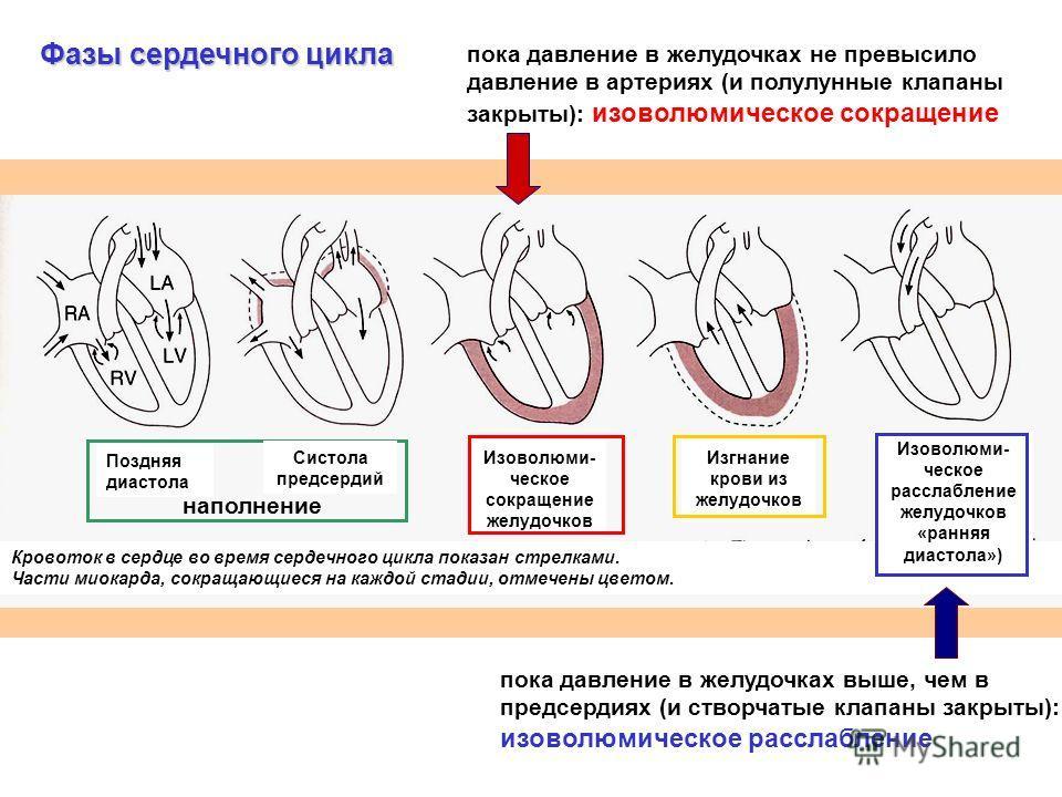 пока давление в желудочках выше, чем в предсердиях (и створчатые клапаны закрыты): изоволюмическое расслабление пока давление в желудочках не превысило давление в артериях (и полулунные клапаны закрыты): изоволюмическое сокращение Кровоток в сердце в
