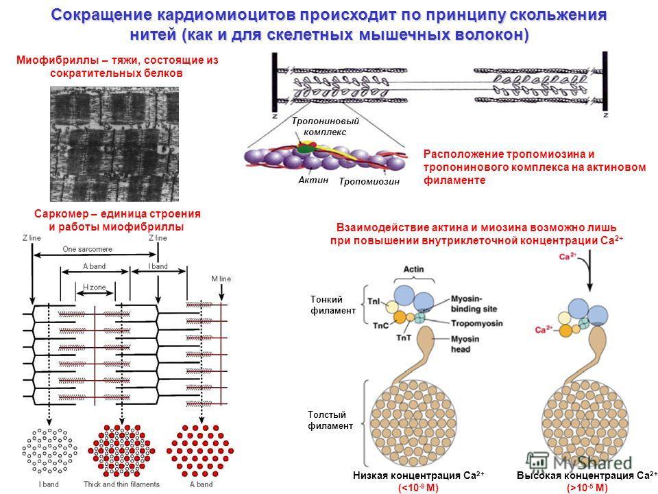 Сокращение кардиомиоцитов происходит по принципу скольжения нитей (как и для скелетных мышечных волокон) Миофибриллы – тяжи, состоящие из сократительных белков Саркомер – единица строения и работы миофибриллы Расположение тропомиозина и тропонинового