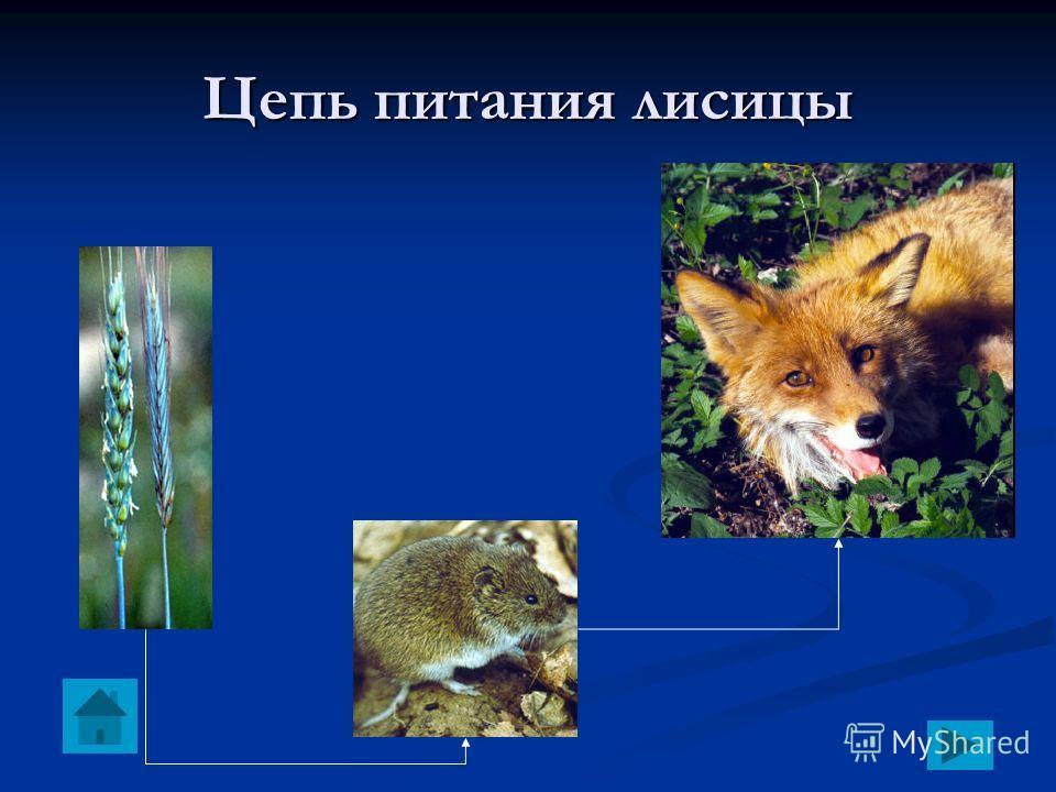 Цепь питания лисицы