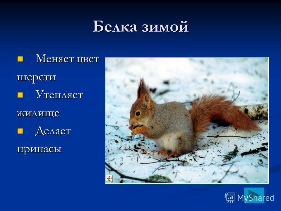 Белка зимой Меняет цвет Меняет цветшерсти Утепляет Утепляетжилище Делает Делаетприпасы