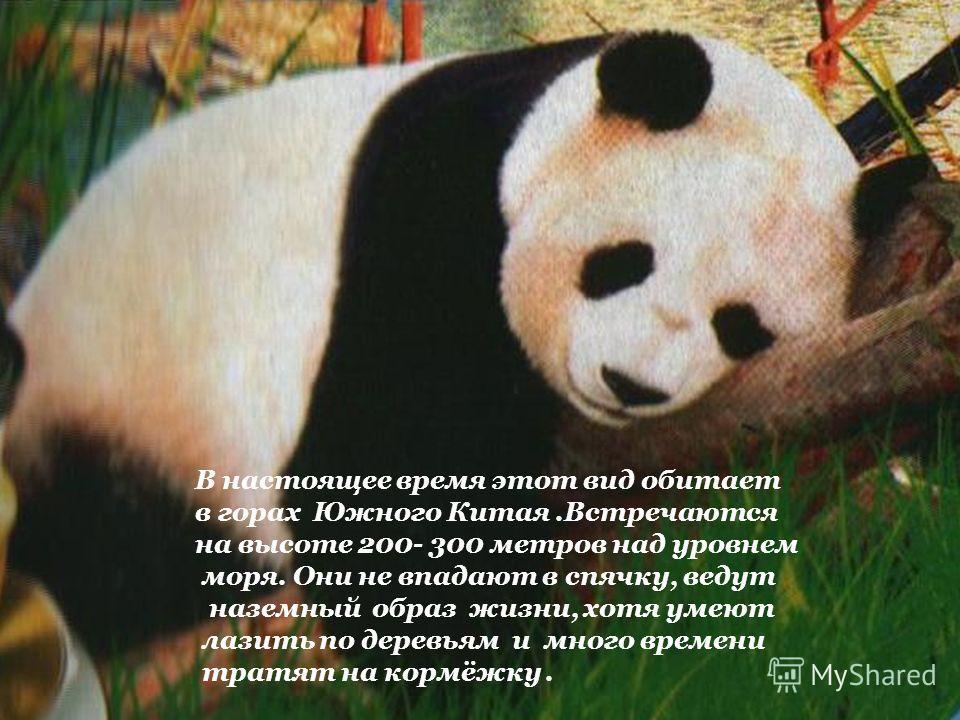 Китайское название большой панды - пайсюн, означает «белый медведь». Или ещё её называют бамбуковым медведем. Эти чёрно- белые животные, достигающие 1,5 метра в длину и веса 160 кг, действительно напоминают медведей. Панды стали известны в середин- н