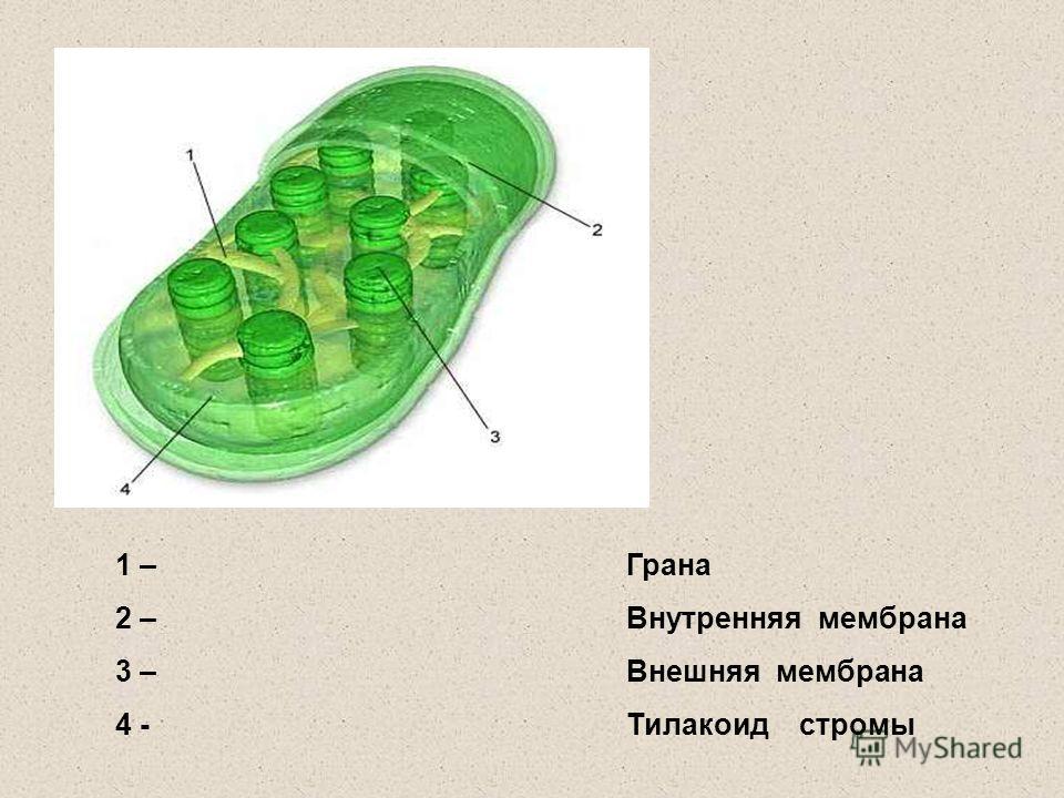 1 – 2 – 3 – 4 - Грана Внутренняя мембрана Внешняя мембрана Тилакоид стромы
