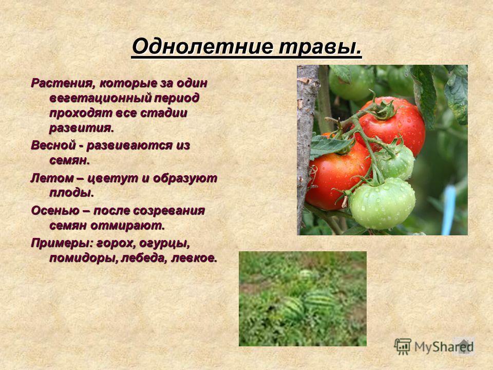 Однолетние травы. Растения, которые за один вегетационный период проходят все стадии развития. Весной - развиваются из семян. Летом – цветут и образуют плоды. Осенью – после созревания семян отмирают. Примеры: горох, огурцы, помидоры, лебеда, левкое.