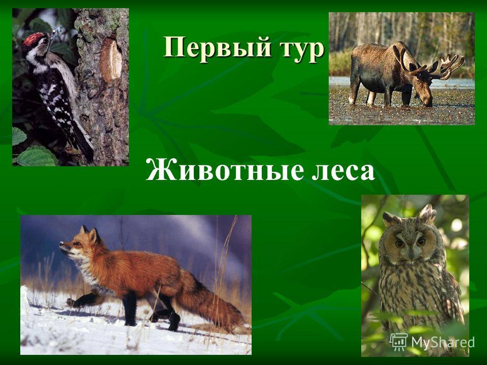 Первый тур Животные леса
