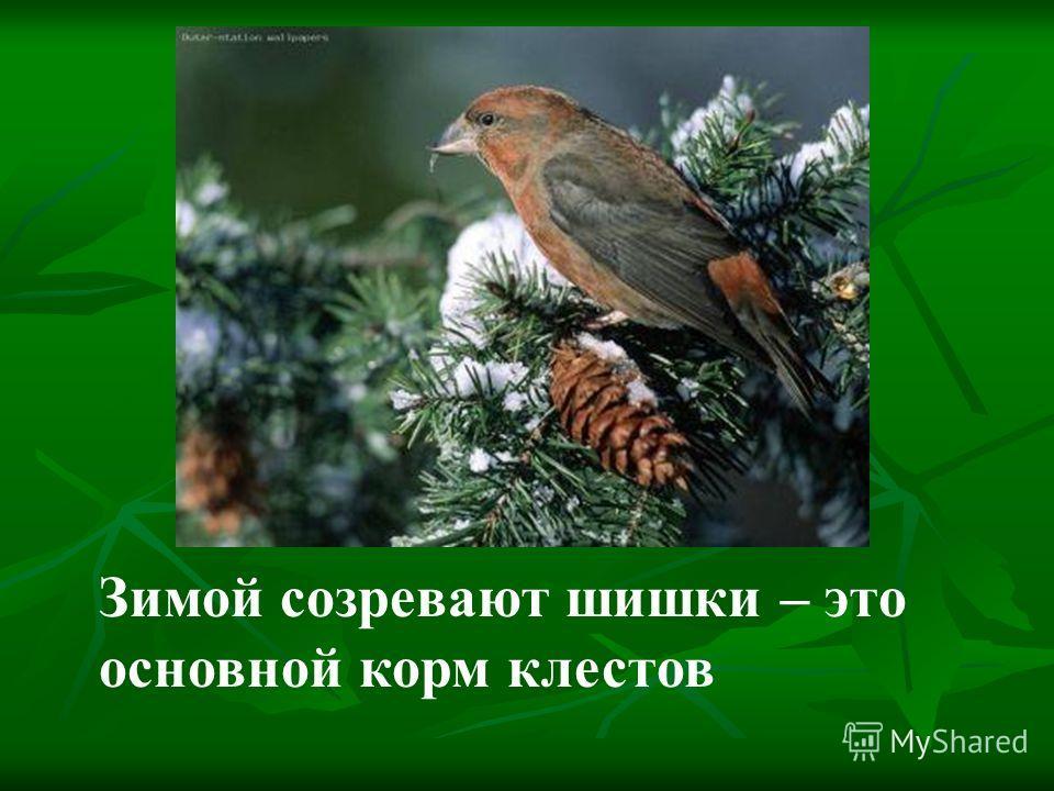 Зимой созревают шишки – это основной корм клестов