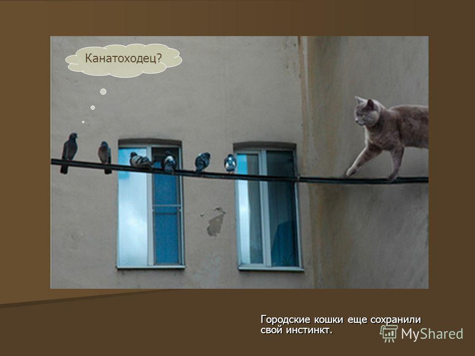 Городские кошки еще сохранили свой инстинкт. Канатоходец?