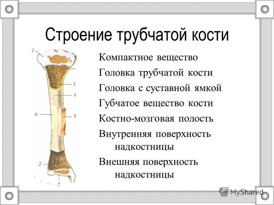 Строение трубчатой кости Компактное вещество Головка трубчатой кости Головка с суставной ямкой Губчатое вещество кости Костно-мозговая полость Внутренняя поверхность надкостницы Внешняя поверхность надкостницы