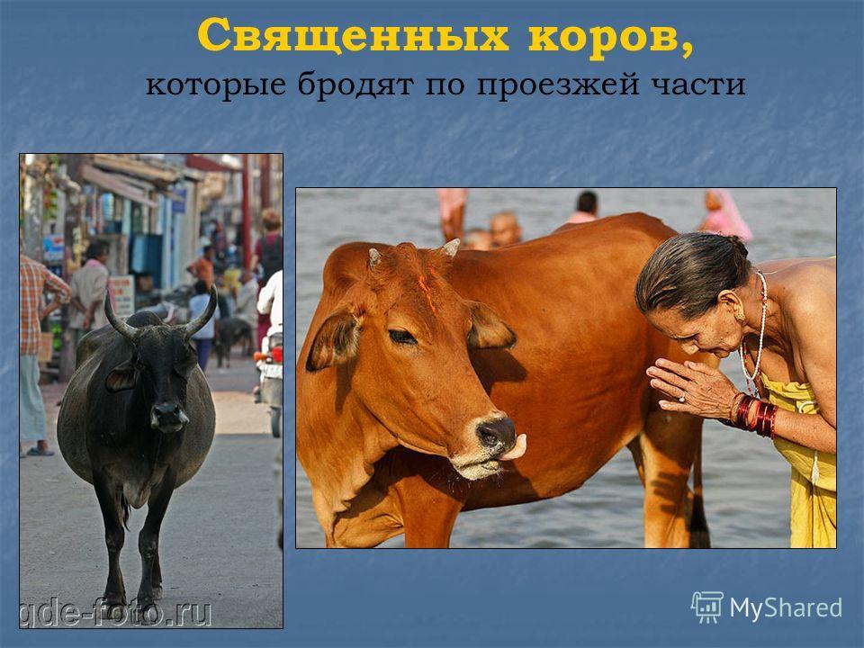Священных коров, которые бродят по проезжей части