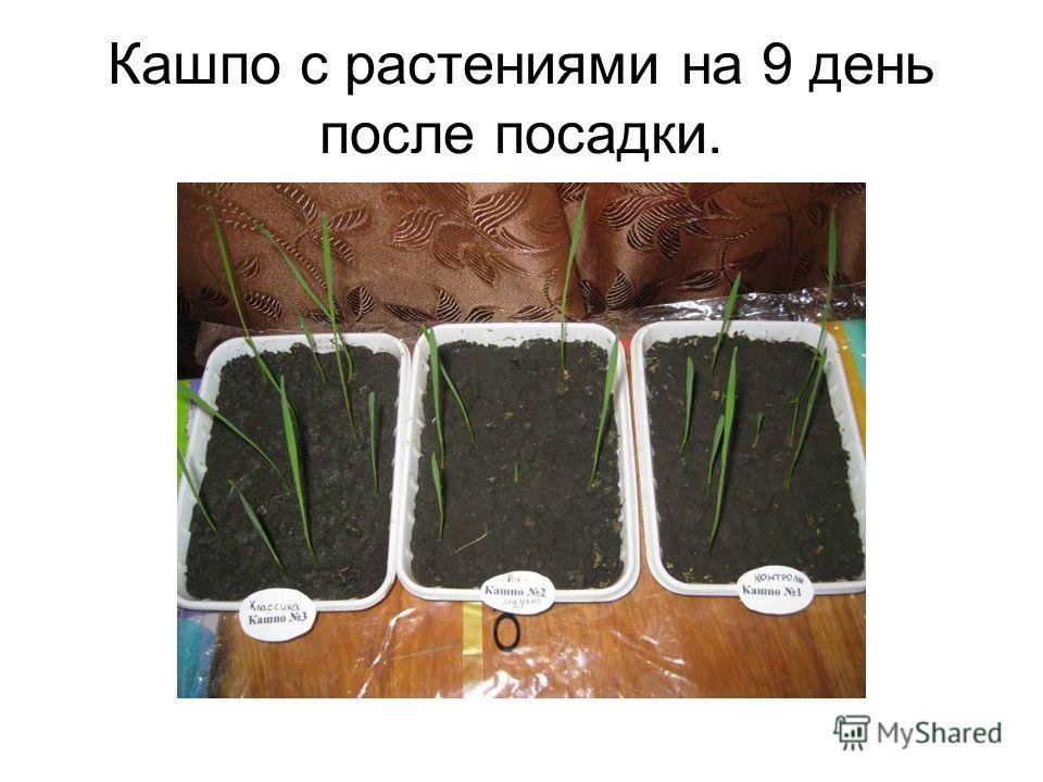 Кашпо с растениями на 9 день после посадки.