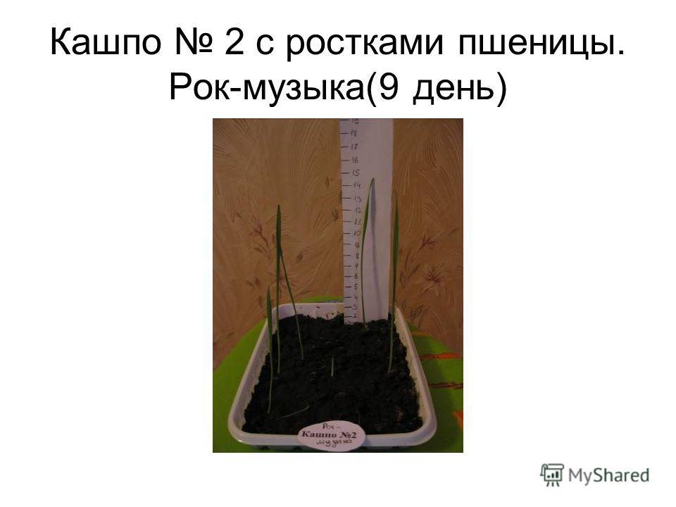 Кашпо 2 с ростками пшеницы. Рок-музыка(9 день)