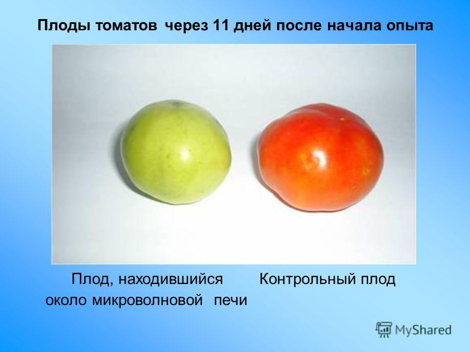 Плоды томатов через 11 дней после начала опыта Плод, находившийся Контрольный плод около микроволновой печи