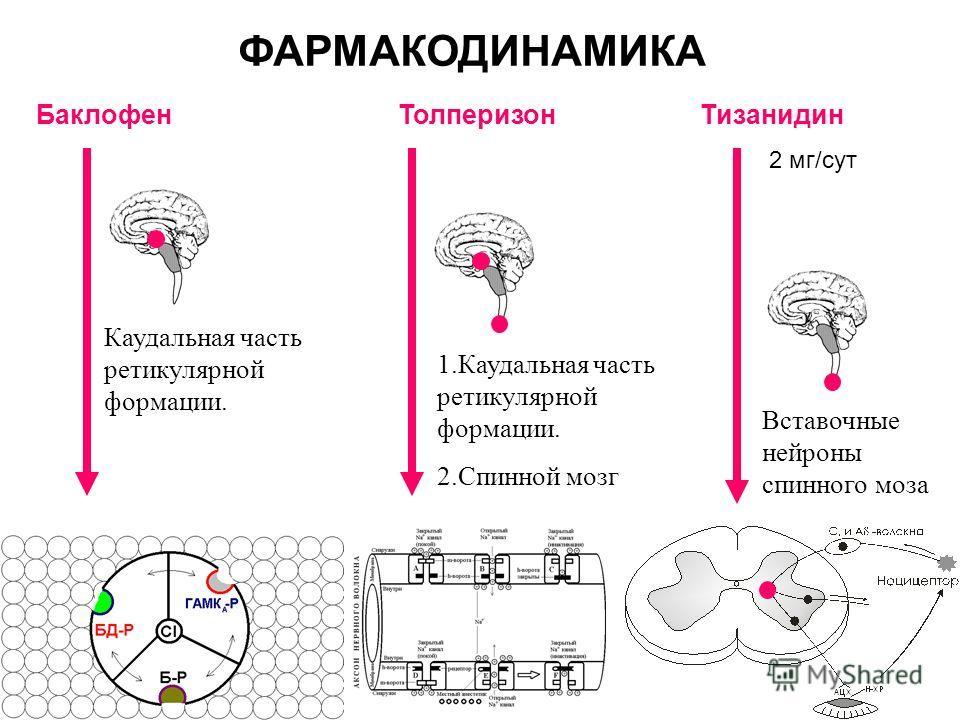 Баклофен Толперизон Тизанидин ФАРМАКОДИНАМИКА 1.Каудальная часть ретикулярной формации. 2.Спинной мозг Вставочные нейроны спинного моза Каудальная часть ретикулярной формации. 2 мг/сут