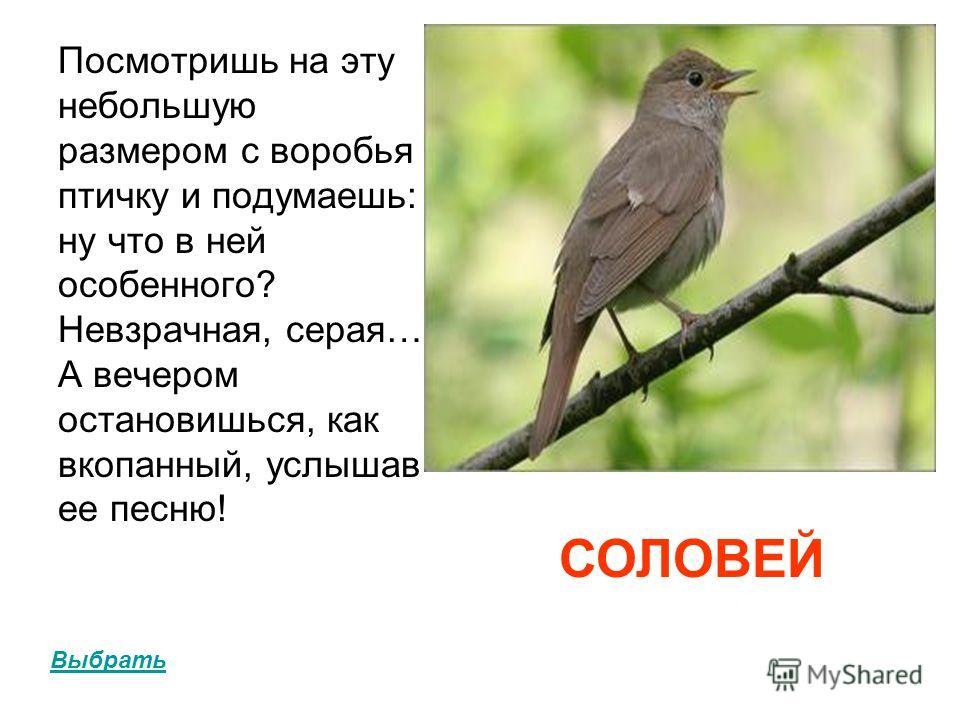 Посмотришь на эту небольшую размером с воробья птичку и подумаешь: ну что в ней особенного? Невзрачная, серая… А вечером остановишься, как вкопанный, услышав ее песню! СОЛОВЕЙ Выбрать