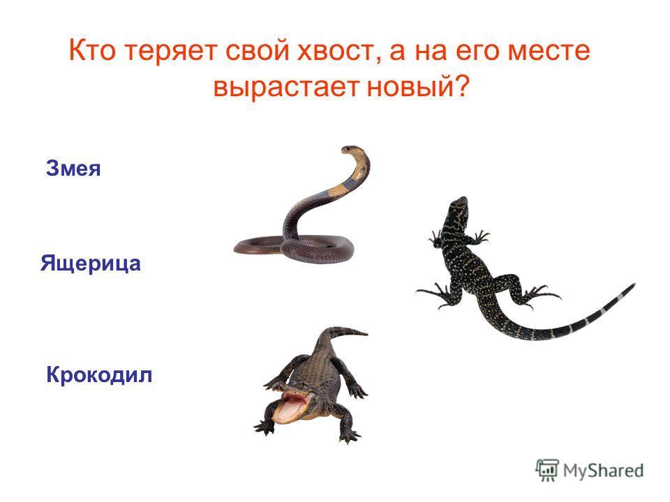 Кто теряет свой хвост, а на его месте вырастает новый? Змея Крокодил Ящерица