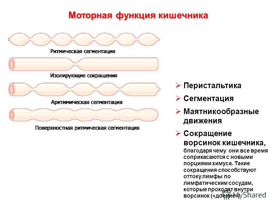 Перистальтика Сегментация Маятникообразные движения Сокращение ворсинок кишечника, благодаря чему они все время соприкасаются с новыми порциями химуса. Такие сокращения способствуют оттоку лимфы по лимфатическим сосудам, которые проходят внутри ворси