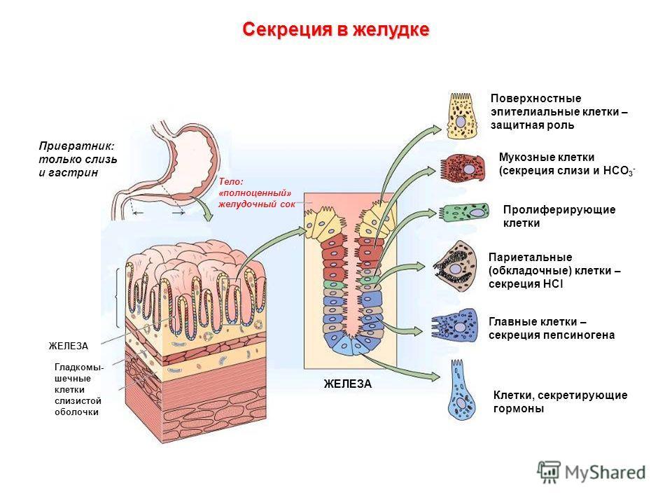 Секреция в желудке Поверхностные эпителиальные клетки – защитная роль Пролиферирующие клетки Главные клетки – секреция пепсиногена Клетки, секретирующие гормоны Мукозные клетки (секреция слизи и НСО 3 - Париетальные (обкладочные) клетки – секреция HC